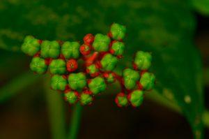 Arbrisseaux du genre Clerodendrum (Clerodendrum buchanani)<br> Chemin de l cascade Couleuvre<br> Parc Naturel Régional de La Martinique