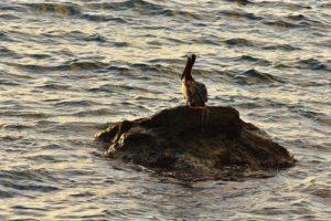 """Le Pélican brun ou """"Gran Gosier"""" (Pelecanus occidentalis)<br> Côte près du Prêcheur<br> Parc Naturel Régional de La Martinique"""