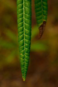 Le Frangipanier (Plumeria alba)<br> La Pointe du Vauclin<br> Parc Naturel Régional de La Martinique