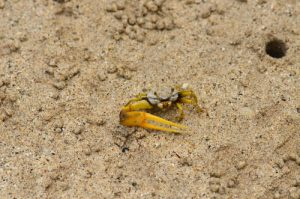 """Le Crabe Violoniste ou """"Sémafot"""" (Uca rapax)<br> Le Trou Cochon<br> La Pointe du Vauclin<br> Parc Naturel Régional de La Martinique"""