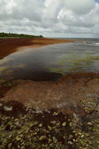 Petit-Anse Macabou envahie par l'algue brune la Sargasse (Sargassum sp.)<br> La Trace des Caps<br> Parc Naturel Régional de La Martinique