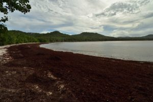 Grand-Anse Macabou envahie par l'algue brune la Sargasse (Sargassum sp.)<br> La Trace des Caps<br> Parc Naturel Régional de La Martinique