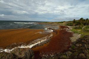 Anse Marie-Catherine envahie par l'algue brune la Sargasse (Sargassum sp.)<br> La Trace des Caps<br> Parc Naturel Régional de La Martinique