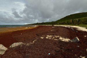 Anse Grosse-Roche envahie par l'algue brune la Sargasse (Sargassum sp.)<br> La Trace des Caps<br> Parc Naturel Régional de La Martinique