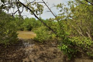 La Mangrove<br> La Pointe Banane<br> Parc Naturel Régional de La Martinique