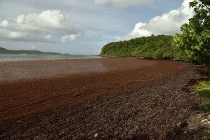 Plage envahie par la Sargasse (Sargassum sp.)<br> La pointe Banane<br> Parc Naturel Régional de La Martinique
