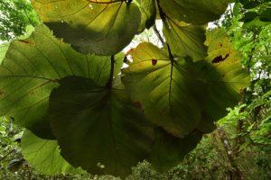 Le Raisinier grandes feuilles (Coccoloba pubescens)<br> La Pointe Banane<br> Parc Naturel Régional de La Martinique