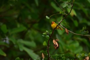 """Le """"Didine"""" ou Palurine jaune (Dendroica petechia)<br> La pointe Banane<br> Parc Naturel Régional de La Martinique"""