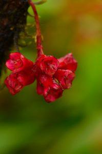Le Fuchsia montagne (Charianthus nodosus)<br> La Montagne Pelée<br> Parc Naturel Régional de La Martinique