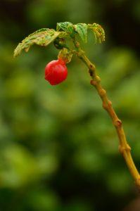 Cré-cré rouge (charianthus purpureus) ?<br> La Montagne Pelée<br> Parc Naturel Régional de La Martinique