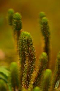 Lycopodiale (Lycopodium siberianum)<br> La Montagne Pelée<br> Parc Naturel Régional de La Martinique