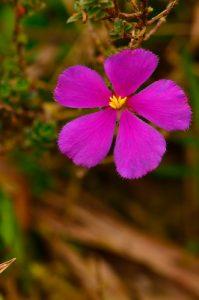 Le Thym montagne (Tibouchina chameacistus)<br> La Montagne Pelée<br> Parc Naturel Régional de La Martinique