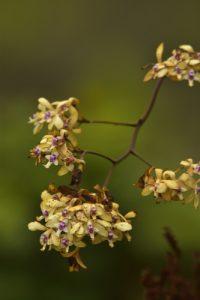 L'Orchidée Patens (Epidendrum patens)<br> La Montagne Pelée<br> Parc Naturel Régional de La Martinique