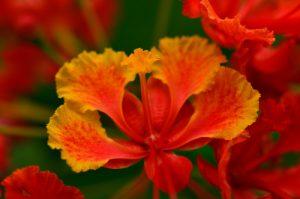 Le Petit Flamboyant (Caesalpinia pulcherrima)<br> Trace Grand-Rivière à Prêcheur<br> Parc Naturel Régional de La Martinique