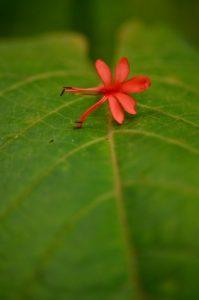 Arbrisseaux du genre Clerodendrum (Clerodendrum buchanani)<br> Trace Grand-Rivière à Prêcheur<br> Parc Naturel Régional de La Martinique