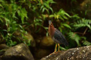 Le Héron vert (Butorides virescens)<br> Parc Naturel Régional de La Martinique