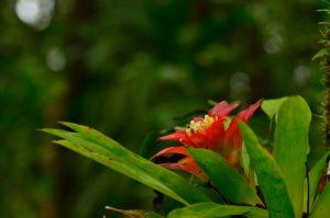 Ananas-Bois (Guzmania lingulata) en fleur<br> Forêt de Rabuchon<br> Parc Naturel Régional de La Martinique