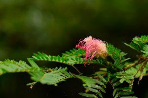 Pompon rose (Calliandra surinamensis)<br> La Forêt hygrophile de Rabuchon<br> Parc Naturel Régional de La Martinique