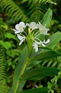 Gingembre papillon (Hedychium coronarium) a été introduit d'Asie et est considéré comme une espèce invasive<br> La Forêt de Rabuchon &amp; la Rivière Blanche<br> Parc Naturel Régional de La Martinique