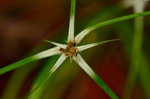 Herbe étoile (Rhynchospora nervosa)<br> Le Morne Larcher<br> Parc Naturel Régional de La Martinique