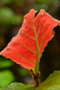 Le Raisinier grandes feuilles (Coccoloba pubescens)<br> Le Morne Larcher<br> Parc Naturel Régional de La Martinique