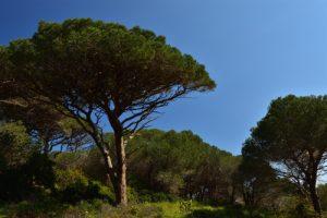 Le Pin parasol (Pinus pinea)<br> Le Massif des Maures
