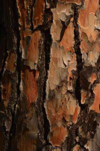 Écorce du pin parasol (Pinus pinea)<br> Le Massif des Maures