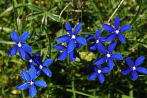 La Gentiane de printemps (Gentiana verna)<br> Col de Tende - Fort Central<br> Parc National du Mercantour