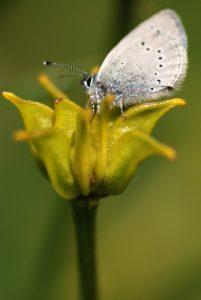 Papillon<br> Col de Tende - Fort Central<br> Parc National du Mercantour
