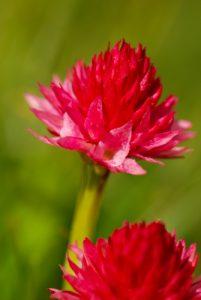 Nigritelle de cornelia (Nigritella corneliana)<br> Col de Tende - Fort Central<br> Parc National du Mercantour / Région de la vallée des Merveilles / Vallée de la Roya