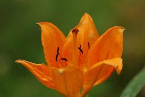 Le Lys orangé (Lilium bulbiferum)<br> Vallon de Casterino<br> Parc National du Mercantour / Région de la vallée des Merveilles / Vallée de la Roya