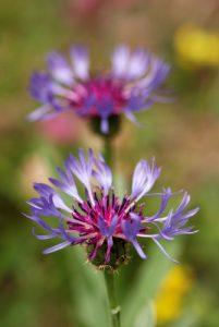 Vallon de Casterino : le Bleuet des champs (Centaurea cyanus) Parc National du Mercantour / Région de la vallée des Merveilles / Vallée de la Roya