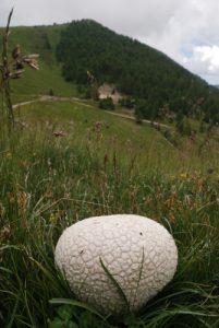 Vesse-de-loup (Lycoperdon)<br> Baisse de Peïrefique<br> Parc National du Mercantour