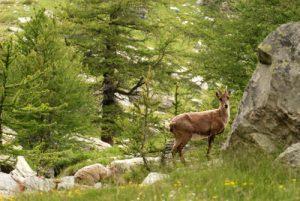 Le Chamois (Rupicapra rupicapra)<br> Vallée de Fontanalbe<br> Parc National du Mercantour