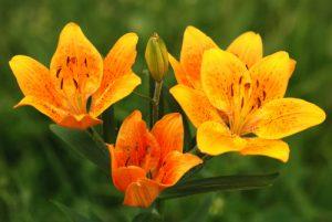Fontanalbe : Le Lys orangé (Lilium bulbiferum)  Parc National du Mercantour / Région de la vallée des Merveilles / Vallée de la Roya