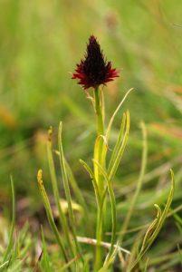 Nigritelle noire (Nigritella rhellicani)<br> Du col de Tende au fort de Pernante<br> Parc National du Mercantour