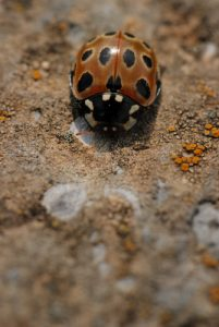 La Coccinelle ocelée (Anatis ocellata)<br> Du col de Tende au fort de Pernante<br> Parc National du Mercantour / Région de la vallée des Merveilles / Vallée de la Roya