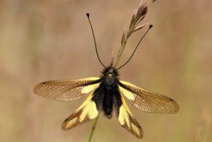 L'Ascalaphe soufré (Libelloides coccajus)<br> Du col de Tende au fort de Pernante<br> Parc National du Mercantour / Région de la vallée des Merveilles / Vallée de la Roya