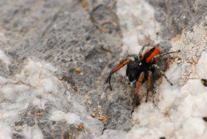 L'Araignée sauteuse (Philaeus chrysops) Du col de Tende au fort de Pernante Parc National du Mercantour / Région de la vallée des Merveilles / Vallée de la Roya