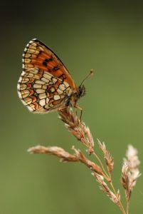 La mélitée de Nickerl (Mellicta aurelia)<br> Lac Jugale &amp; Pas de Col Rousse<br> Parc National du Mercantour / Région de la vallée des Merveilles / Vallée de la Roya