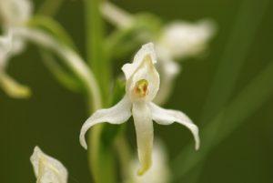 Orchidée Plathantère à 2 feuilles (Platanthera bifolia)<br> Lac Jugale &amp; Pas de Col Rousse/ Région de la vallée des Merveilles / Vallée de la Roya<br> Parc National du Mercantour