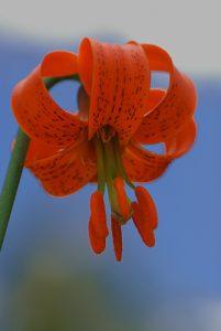 Le Lys Turban ou de Pompone (Lilium pomponium)  Parc National du Mercantour / Région de la vallée des Merveilles / Vallée de la Roya