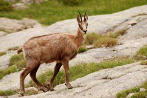 Le Chamois (Rupicapra rupicapra)<br> La vallée de Valmasque et ses 3 lacs<br> Parc National du Mercantour / Région de la vallée des Merveilles / Vallée de la Roya