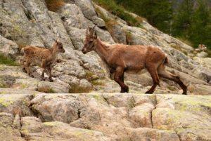 Bouquetin des Alpes (Capra ibex)<br> La vallée de Valmasque et ses 3 lacs<br> Parc National du Mercantour / Région de la vallée des Merveilles / Vallée de la Roya