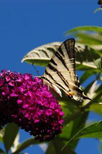 Le Papillon le Flambé (Iphiclides podalirius)<br> Village de Saorge de  la  Roya<br> Parc National Naturel du Mercantour