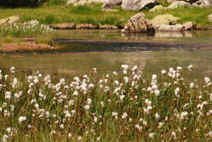 La vallée des Merveilles : Linaigrette (Eriophorum scheuchzeri) Parc National du Mercantour / Région de la vallée des Merveilles / Vallée de la Roya