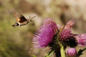 Vallon de Casterino : Le moro sphinx (Macroglossum stellatarum) Parc National du Mercantour / Région de la vallée des Merveilles / Vallée de la Roya