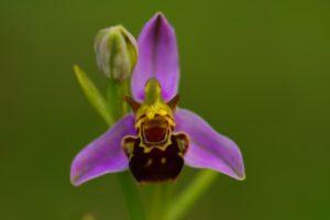 L'Ophrys abeille (Ophrys apifera)<br> Parc naturel régional de la Montagne de Reims