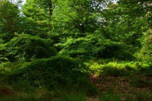 Le Hêtre tortillard (Fagus sylvatica) mutant du Hêtre commun<br> Les Faux de Verzy<br> Parc naturel régional de la Montagne de Reims