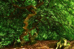 Anastomose (fusion des rameaux au niveau de leur entrelacement) sur un mutant totillard du Hêtre commun (Fagus sylvatica)<br> Les Faux de Verzy<br> Parc naturel régional de la Montagne de Reims
